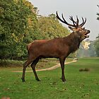 Stately Red Deer by Dawn OConnor