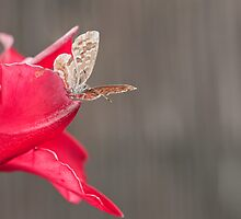 Close-up on a little butterfly posed on a pink flower by shkyo30