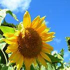 sunflower in field by Matte Downey