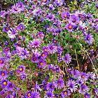 field of purple flowers by Matte Downey