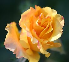 Yellow Rose by Terry Aldhizer