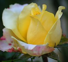 Yellow Rose With Edges Of Pink by Terry Aldhizer