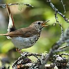 Hermit Thrush by Bill McMullen