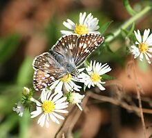 More Checkered Skipper Butterfly by Terry Aldhizer