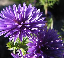 Purple dahlias by hummingbirds