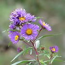 Purple asters by hummingbirds