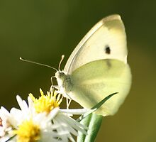 Up Close Cabbage White Butterfly by Terry Aldhizer