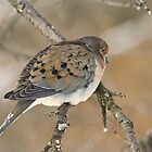 Mourning Dove by ChrisCouse