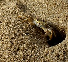 Sand Crab by MissMargaret