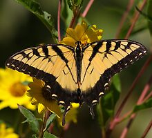 Fall Tiger - Tiger Swallowtail by Tony Wilder