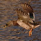 Mallard Inflight 2 by Alexa Pereira