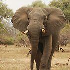 Elephant - Gonarezhou National Park, Zimbabwe by Nick Hart