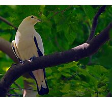 Pied Imperial-pigeon (Ducula bicolor) Photographic Print
