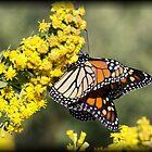 Monarch Butterflies by Dennis Cheeseman