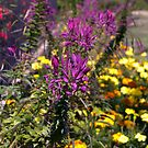 Cleome Violet Queen 2 by photosbycoleen