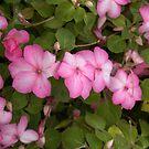 Dazzler Rose Swirl by photosbycoleen