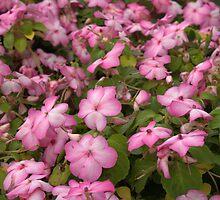 Dazzler Rose Swirl II by photosbycoleen