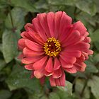 Zinnia by photosbycoleen