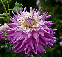 Purple Dahlia by Kristina K