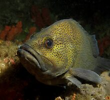 Halifax Wirra Cod by Matt-Dowse