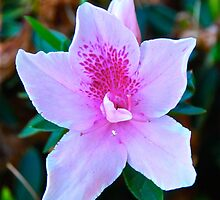 Pink Azalea by Penny Smith