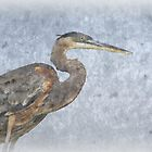Great Blue Heron by Glenn Gilbert