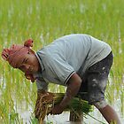 Planting rice by Carl LaCasse