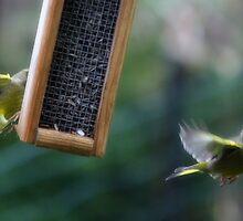 Grumpy Greenfinch by Ben Luck