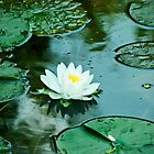 Water lily by Sue Ratcliffe