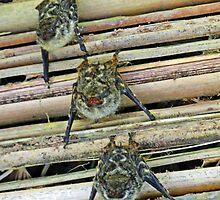 Costa Rican Bats by Al Bourassa