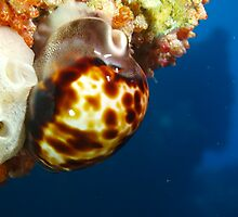 venusta cowry rottnest island reef west end by peterbeaton