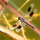 Blue Skimmer Dragonfly by Rosalie Scanlon