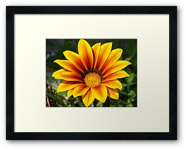 A gorgeous Gazania. by William Brennan