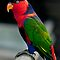 Black Capped Lory by Damienne Bingham