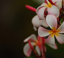 Plumeria Drops by photojeanic