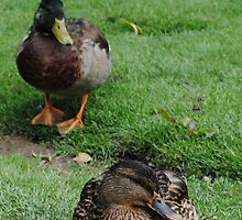 Sitting Ducks by Sarah Leese