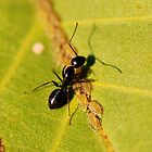Ant with aphid by Dfilyagin