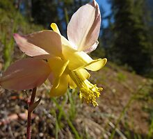 Yellow Columbine (Aquilegia flavescens) by Vickie Emms