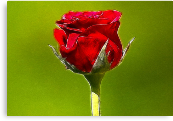 Red Rose by Trevor Kersley