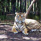 Sumatran Tiger by Margaret Walker