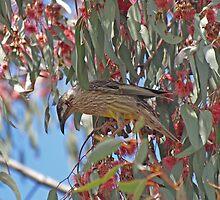 Red Wattle Bird in a gum tree. by shortshooter-Al