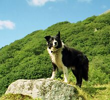 Border Collie Heaven by Michael Haslam