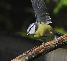 blue tit waving to the camera by Grandalf