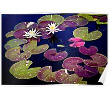Waterlillies at Phipps  Poster