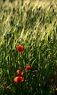 Poppies in Puglia Italy by Debbie Pinard