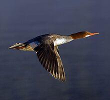 Flying Female Merganser - Odell Lake Oregon by Randall Ingalls