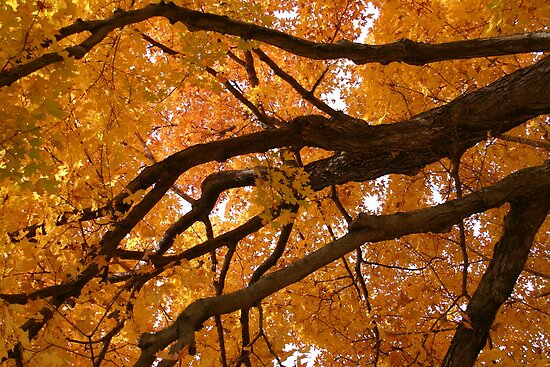 Canadian Maple Tree in the Fall by Debbie Pinard