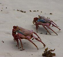 Scurrying Galapagos Crabs by Nina Brandin