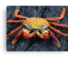 Galapagos Crab Canvas Print