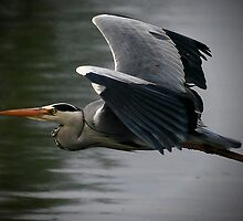 Came Heron Past by snapdecisions